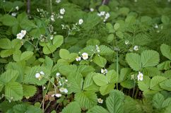 Wild strawberry plans with flowers and green leaves stock image