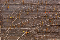 Background of wine growing on wooden fence Royalty Free Stock Photo