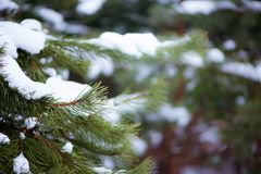 Background winter Christmas. The branches of the pine trees in t. He snow, space for text stock photos