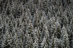 Background of winter forest. Background with the tops of trees in winter royalty free stock images