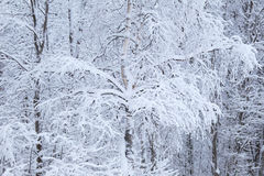 Background of the winter forest. Trees in snow. Stock Image