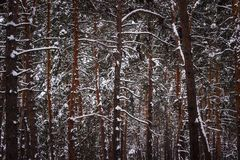 Background winter pine forest trunks of tall trees covered with white snow Royalty Free Stock Image