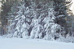The background with winter trees at forest. Winter background Stock Images