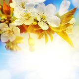 Background With A Blossoming Branch Stock Photos