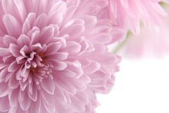Background With A Chrysanthemum Royalty Free Stock Photography
