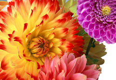 Background With Dahlias Royalty Free Stock Photos