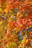 Background With Fall Maple Leafs Stock Images
