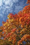 Background With Fall Maple Leafs Stock Photos