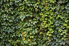 Background With Green Foliage Royalty Free Stock Images