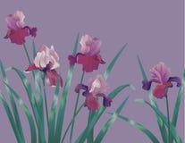 Background With Iris Royalty Free Stock Photos