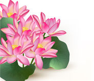 Background With Pink Vector Lotus Flowers On A White Royalty Free Stock Photos