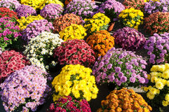 Background withcolorful potted chrysanthemums. Background with beautiful colorful potted chrysanthemums smiling in the late summer afternoon sunshine Royalty Free Stock Images