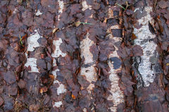 Background of withered autumn leaves on the trunks of birches Royalty Free Stock Image
