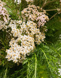 Background from a yarrow. The Image of an inflorescence and leaves of yarrow Stock Photos