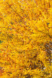 Background of yellow autumn leaves Stock Photo