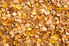 Background of yellow autumn leaves Stock Image