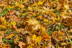 Background of yellow autumn maple leaves. Lying on the ground Royalty Free Stock Photography