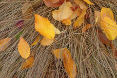Background. Yellow birch leaves on dry grass. Stock Photo