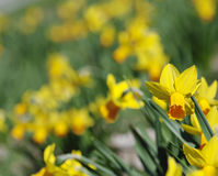 Background of yellow daffodils Royalty Free Stock Image