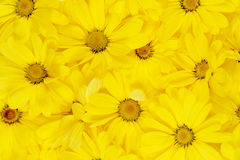 Background of yellow daisies Stock Photos