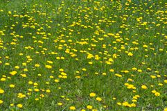 Background of yellow dandelion. Meadow of multiple yellow dandelion flowers royalty free stock image