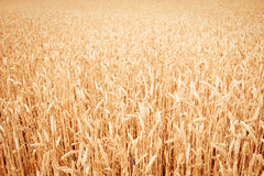 Background of  yellow ears on the beautiful golden wheat field Royalty Free Stock Photography