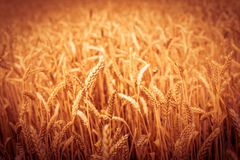 Background of  yellow ears on the beautiful golden wheat field Royalty Free Stock Images