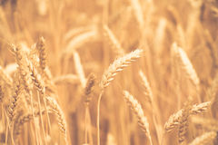 Background of  yellow ears on the beautiful golden wheat field Royalty Free Stock Image