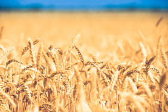 Background of  yellow ears on the beautiful golden wheat field Royalty Free Stock Photos