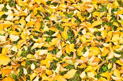 Background yellow fallen Elm leaves Royalty Free Stock Photo
