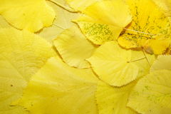 Background of Yellow fallen leaves Royalty Free Stock Photos