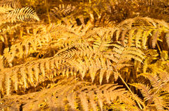 Background with yellow ferns Royalty Free Stock Photo