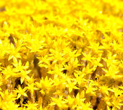 Background Yellow Flower Moss Royalty Free Stock Photos