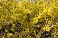 Background of  flowering shrubs. royalty free stock photo