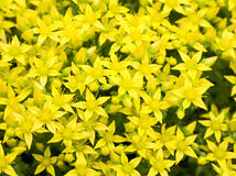 Background with yellow flowers Royalty Free Stock Photos