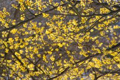Hamamelis shrub in bloom Stock Photos
