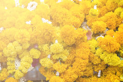 background of yellow flowers hanging at the spirite house in ban Royalty Free Stock Image