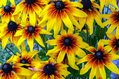 Background from yellow flowers Royalty Free Stock Photo