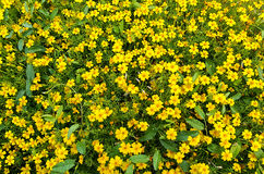 Background of yellow flowers Royalty Free Stock Image