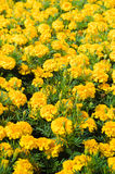 Background of yellow flowers in summer Royalty Free Stock Photos
