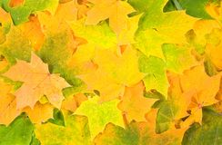 Background from yellow green leaves. Background from yellow green autumn beautiful maple leaves Royalty Free Stock Photo