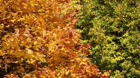 Background of yellow and green maple leaves in autumn stock video
