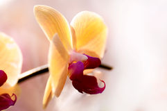 Background of yellow Japanese Orchid Royalty Free Stock Photos