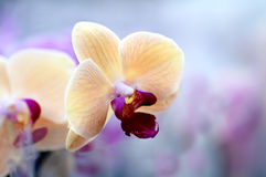 Background of yellow Japanese Orchid Royalty Free Stock Image