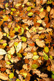 Background of yellow leaves Royalty Free Stock Image