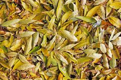 Background from yellow leaves. Autumn royalty free stock photography
