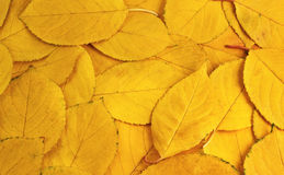 The background of yellow leaves Stock Image