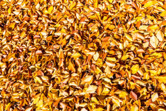 Background yellow leaves at sunny day Royalty Free Stock Image