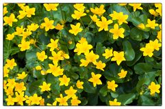Background of yellow Marsh Marigold. Marsh Marigold Caltha palustris; also known as Cowslip, Yellow Marsh Marigold stock photography
