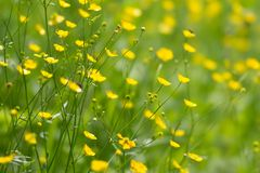 Background from yellow meadow flowers of a buttercup in a natural environment. Wild meadow plant. Background from yellow meadow flowers of a buttercup in a royalty free stock image